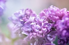 Photograph lilac by Julia Iva on 500px  Ulchiva Macro Photo Flower Nature Spring Summer Color White Green Love Postcard