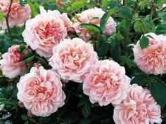 Роза – настоящая королева сада: ее восхитительные цветы самых разных оттенков, форм и размеров способны практически непрерывно украшать участок в течение всего лета. Чайно-гибридные сорта с огромными ...