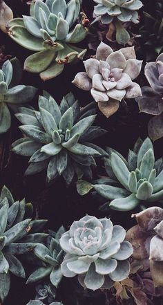 #cacti #wallpaper #background