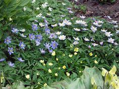 Anemone x lipsiensis, Anemone nemorosa Royal Blue och Anemone Nemorosa Allenii