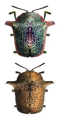 Omocerus masoni