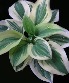 "Hosta Cameo  ---  Mini hosta with 2"" leaves with creamy margins. Makes a cute little clump. Mini hostas tend to be slow to establish, but this is one of the more vigorous. 4"" tall by 12"" wide, eventually."
