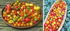 Ako pestovať paradajky bez chémie? | Záhrada.sk
