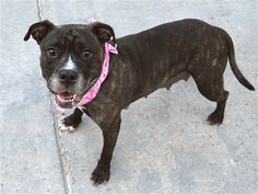 AT RISK TO BE DESTROYED 6/22/18 Snacks is at-risk of euthanasia and needs placement. Please consider opening your home today! Hello, my name is Snacks. My animal id is #29930. I am a female brown brindle dog at the Manhattan Animal Care Center. The shelter thinks I am about 6 years 3 months 2 weeks old. I came into the shelter as a owner surrender on 01-Jun-2018, with the surrender reason stated as animal behaviour - aggressive to other animals. Sorry, this pet is for new hope partners only.