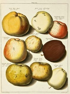 Johann Hermann Knoop  Pomologia  1758