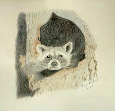 Raccoon Drawings for Sale