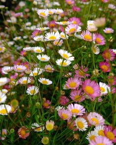 The romantic froth of Seaside Daisy, Erigeron 'karvinskianus', flourishes in the crevices and paving of Heronswood House. This whimsical… Pink Perennials, Outdoor Rooms, Flourishes, Whimsical, Daisy, Romantic, Landscape, Club, Plants