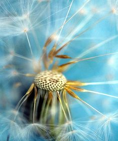 Make a wish. close-up dandelion head by Mylens - brilliant photostream Dandelion Wish, Dandelion Seeds, Dandelion Clock, Dandelion Painting, Painting Art, Paintings, Fotografia Macro, Seed Pods, Belleza Natural