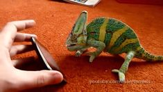 Chameleon was frightened by iphone (what he saw?), via YouTube.