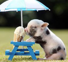 IT'S A LITTLE PIGGY EATING ICE CREAM UNDER AN UMBRELLA AT A MINIATURE PICNIC TABLE!!