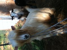 A miniature fainting silky goat to go with the silky chickens