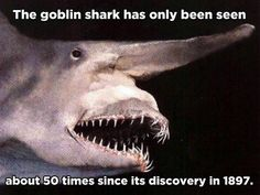 Goblin sharks (Mitsukurina owstoni) live at depths of about 100 m (330 ft) in the Pacific Ocean, Atlantic Ocean and the Gulf of Mexico. They can be found much deeper, as far as 200m below the surface. They're the sole surviving species of the family Mitsukurina, a lineage that has existed for more than 125 million years.  They can grow up to 3.30 metres long and weigh up to 195 kg.