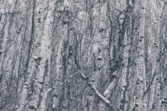 Browse Free HD Images of Birch Trees In Winter
