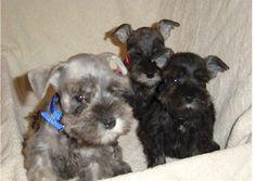 Pups from McKenzie_Austin 03_04 litter 003.jpg (36508 bytes)
