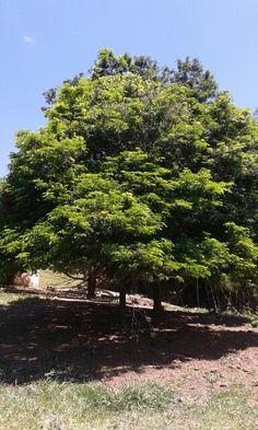 Fazenda Palestina - Querendo - RJ árvore Pau Brasil