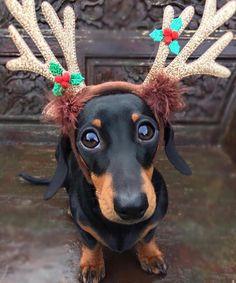 """What do you mean Santa's got enough Reindeer? . . . . . . . . . . #christmas #love #dailyfluff…"""