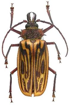 Longhorn Beetle, Wedding Tattoos, Bugs And Insects, Animal Quotes, Outdoor Travel, Art Quotes, Architecture Design, Oklahoma Sooners, Longhorns