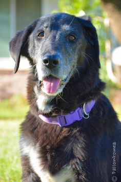 BALOO is an adoptable Labrador Retriever searching for a forever family near Beverly Hills, CA. Use Petfinder to find adoptable pets in your area.