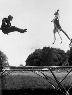 A kangaroo's dream come true!!!  In the 1950s, Mr. George Nissen, inventor of the trampoline, jumped on a trampoline with a kangaroo in Central Park, New York.   As a publicity stunt to introduce the trampoline, Nissen hired a kangaroo for a photoshoot in Central Park, New York. The stunt was a success. He started bouncing at one end of the trampoline to get the kangaroo bouncing at the other. Then Nissen timed his jumps so he and the kangaroo would be in mid-air together for the photos.