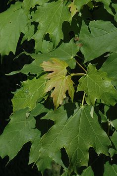 Click to view full-size photo of Apollo Sugar Maple (Acer saccharum 'Barrett Cole') at Bachman's Landscaping