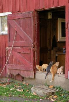 FARMHOUSE – BARN – A traditional red barn with dutch door entry and the requesite row of cats. Love the kitties! This looks just like my old barn with the Dutch door. Country Barns, Country Life, Country Living, Country Charm, Country Roads, Rustic Charm, French Country, Crazy Cat Lady, Crazy Cats