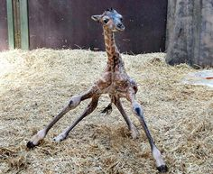 Wobble  by Hennig Bagger/Reuters via csmonitor: A giraffe foal tries to stand shortly after being born at the Aalborg Zoo in Jutland, Denmark, on Feb. 11. #Giraffe