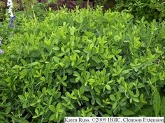 Shrub-like appearance of Baptisia australis after flowering. how to take care of baptisia and what to plant with