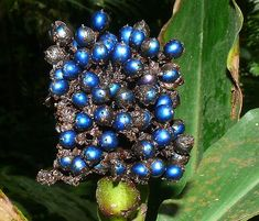Pollia condensata, colloquially called the marble berry, found in forested regions of Africa. The berry color is created by reflection of light from stacked cellulose microfibrils.
