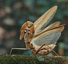 Mantis, hear no evil