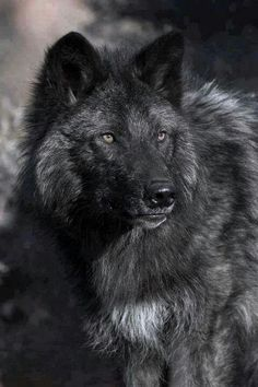 Black wolf, saw 2 of those in Spring 2015 not too far from my property, later I heard their cubs playing and squeaking. Wolfs only operate in pairs when they are about to mate. Wolf Photos, Wolf Pictures, Animal Pictures, Beautiful Creatures, Animals Beautiful, Cute Animals, Majestic Animals, Wolf Spirit, My Spirit Animal