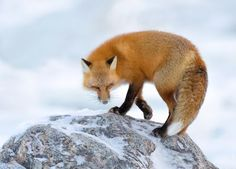 Red Fox Photo by Fred Lemire — National Geographic Your Shot National Geographic, Fantastic Fox, Fabulous Fox, Fox Collection, Foxes Photography, Fox Illustration, Little Fox, Most Beautiful Animals, Cute Fox