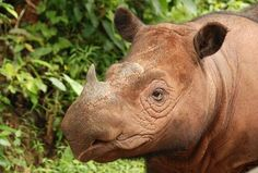 'Year of the Rhino' Begins in Bid to Save Species.