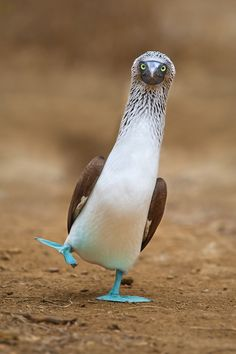 "I'm Cute I'm Cuuuuuute! Blue-footed Booby (Sula nebouxii) by Libor Vaicenbacher "" Nature Animals, Animals And Pets, Baby Animals, Funny Animals, Cute Animals, Pretty Birds, Beautiful Birds, Animals Beautiful, Beautiful Pictures"