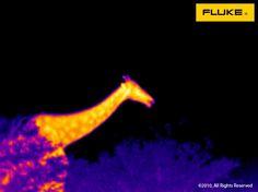 Fluke thermal Imaging WiLD LiFE - giraffe! Black Lights, Thermal Imaging, Going On Holiday, Night Owl, Wild Life, Teaser, Mother Nature, Giraffe, Photos