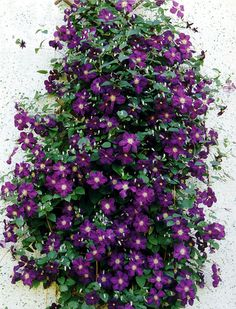 Deep purple clematis to grow on a trellis by the house, with a bright red-pink azalea at the base.