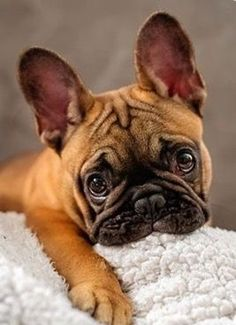 French Bulldog Puppy❤ - Tap the pin for the most adorable pawtastic fur baby apparel! You'll love the dog clothes and cat clothes! <3