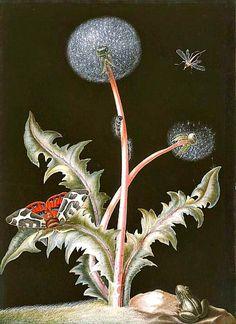 stilllifequickheart:  Johann Christoph Bayer Dandelion with Frog and Insects 18th century