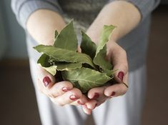 Though the aroma isn't unpleasant to humans, bugs don't like the scent of bay leaves. Try tucking a few dried bay leaves into the corners of your. Laurier Sauce, Eucalyptus Citronné, Laurus Nobilis, Kitchen Gallery, Natural Cleaning Products, Kraut, Tray Bakes, Real Food Recipes, Kabobs