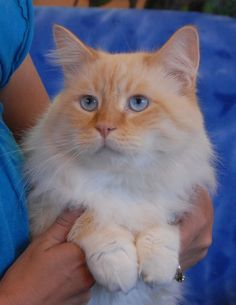 Flame Ragdoll -- my friend has two like this; they're adorable but shed profusely despite daily brushing :(