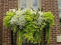 Gorgeous window box in chartreuse green and white!!! Bebe'!!! Love the lime green sweet patato vine!!!