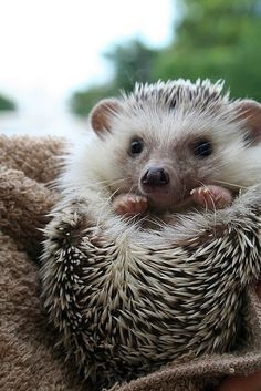 Hedgehog   #adorableanimals #cuteanimals #loveable #animallover #hedgehog  #hedgehoglover