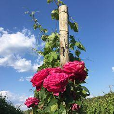 08Giu15 - Rose nella nostra vigna