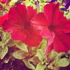 Petunia's in de winter #rood