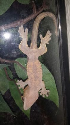 Crested gecko belly