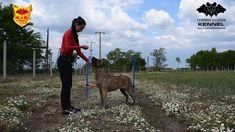 Cimarron Uruguayo - Beulah Cerberus Illusion - trick dog - stacking