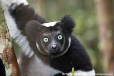 An adorable Indri lemur. Lemurs are endemic to Madagascar, but it is now thought that 91% of lemur species are threatened with extinction. Photo by Rhett. A. Butler