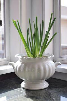 What am I growing you might ask?  Onions.  The green onions that you buy at your grocery store. Just submerge the roots in water after you chop them, and they'll grow 1/2 inch a day. The growth you see above? That's about a week's growth.