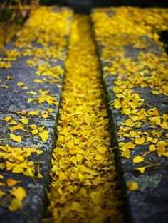 These ginkgo leaves are beautiful! #ginkgo #herbst #gelb #gold