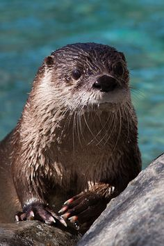Otter poses for a nice portrait - March 17, 2015