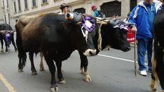 Bulls on PARADE !!
